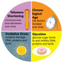 Yaşlanmada Telomer Kısalması ve Diğer Faktörler